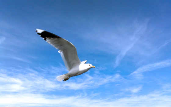 seagull, free, desktop, sounds, качество,