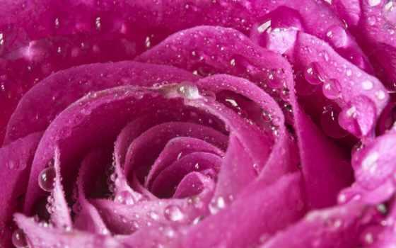 роза, bokeh, petals, макро, розовый, drops, rosa, tropfen, makro,