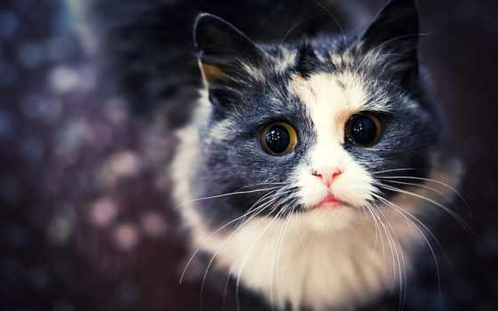 gato, negro, con, blanco, кот, cats, gatos, una, ampliar, ми,