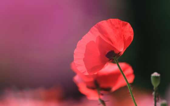 cvety, poppy, covers, rhoeas, papaver, нояб, skateboarding, маки, red,