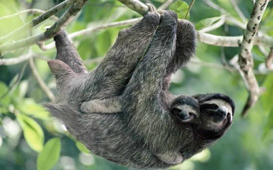 животными, sloth