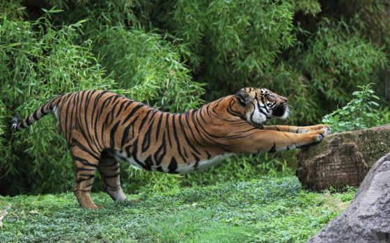 tiger, веселые