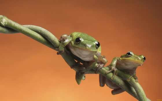 animales, веточка, июня, лягушка, кол, graciosos, квака,