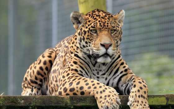 ягуар, грозный, зоопарк,