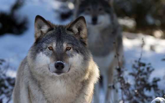 волк, природа, морда, winter, макро, лес, zhivotnye, ipad,