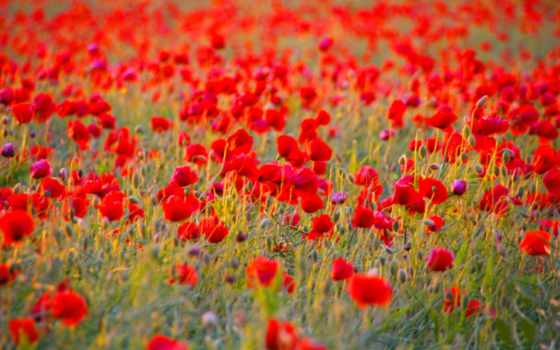 fond, coquelicots, fonds