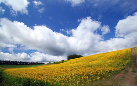 природа, широкоформатные, подсолнухи, поле, красивые, небо,