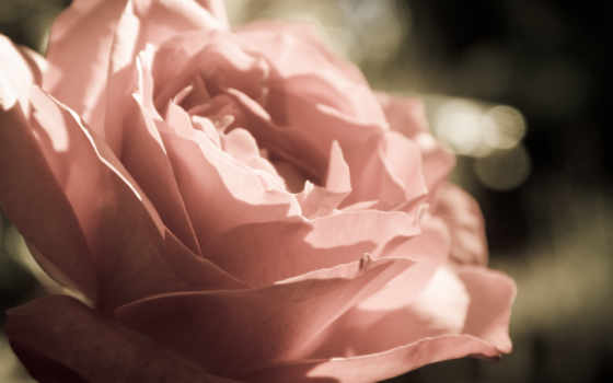 макро, cvety, роза, бутон, лепестки, flowers,