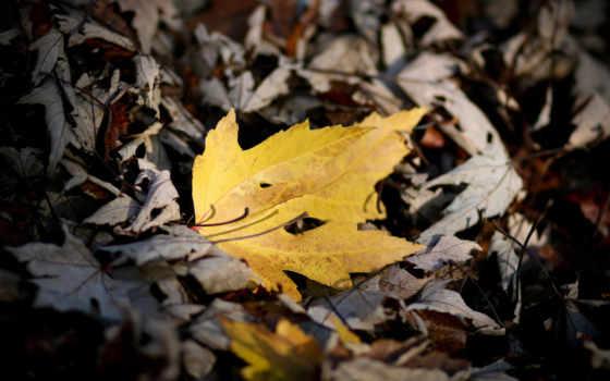 осень, листва, осенние, maple, wide,