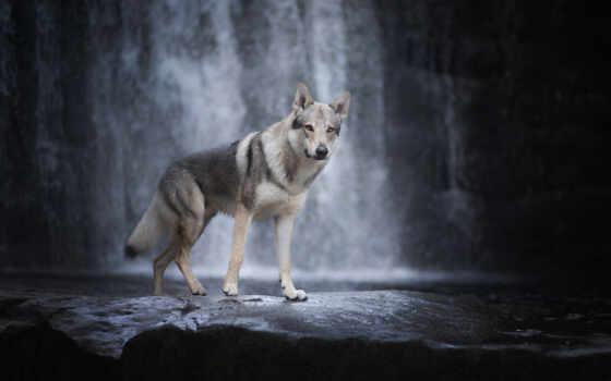 волк, водопад, собака, animal, волчий, качественные, хаска, картинка, хищник