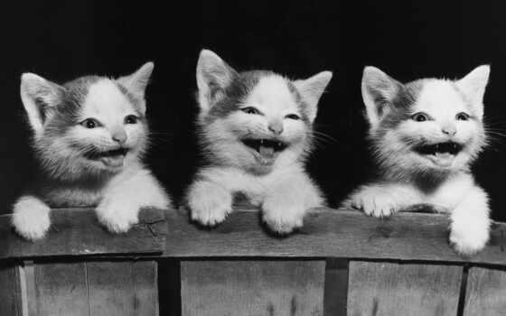 три, котенка, смеются, животные, wallpaper, кошки, котята, funny, cute, lovely, cat, breeds, код, все,