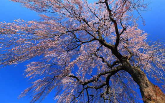 цветущее, дерево