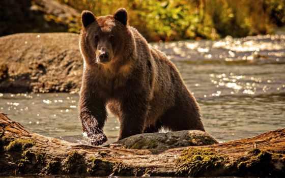 медведь, животные, река