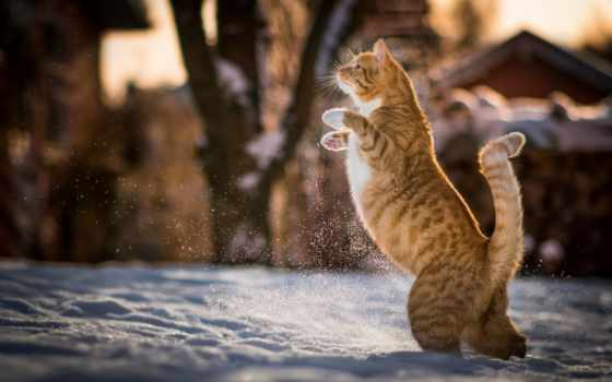 кот, задних, лапах, red, playful,