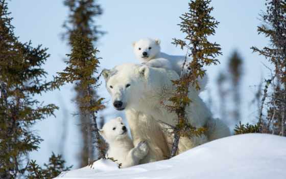 polar, фон, медведь, bears, снег, медведи, zhivotnye, winter,