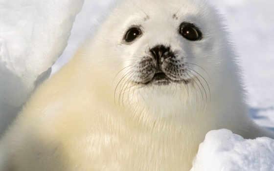 тюлень, малыш, white