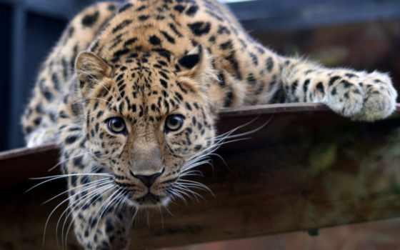 леопард, дальневосточный, кот, леопарда, глаза,
