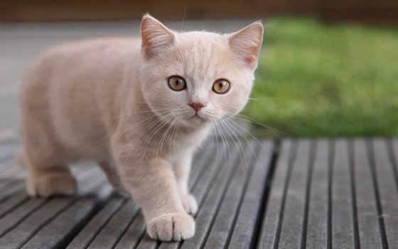 котенок, кошки, светлого