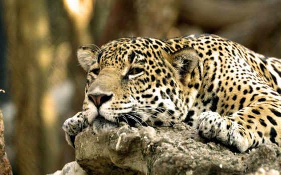 кошечек, больших, поставил, everything, jaguar,