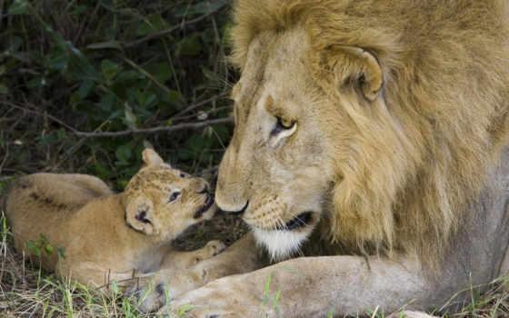 lion, львенок, забота, семья, львица,