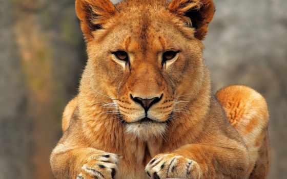 lion, львы, молодой