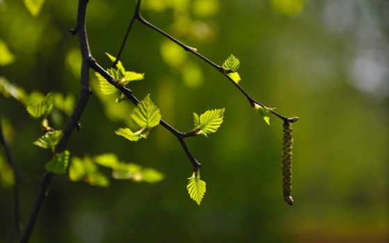 весна, branch, береза, fone, размытом, листочками, картинок, desktopwallpape, разделе, коллекция,
