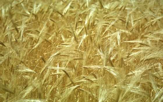 поле, пшеницы, пшеница, золотистая, колоски, foto, fondos,