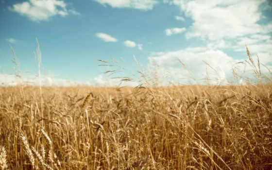 поле, пшеничное, урожай, золотистый,