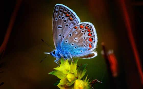 бабочка, цветы, animal, argus, повозка, awesome, оказывать, браун, north, makryi, northern