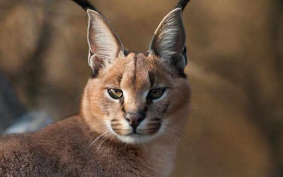 кошки, кисточками, ушах, каракалы, породы, кошек, ушей, те, кисточек, июнь,
