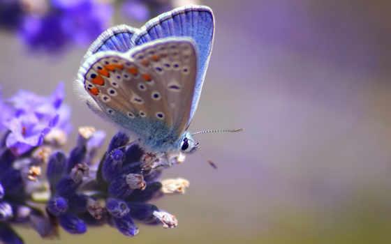 бабочка, макро, голубая, цветы, размытость, blue, бабочки, синяя, cvety,
