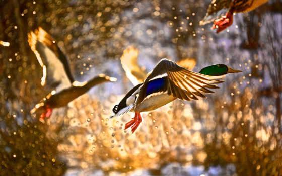 птицы, осень, птиц, constantine, бальмонт, фотографий, осенью, утка, полет, zhivotnye, воробей,