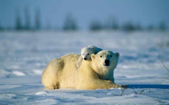 медведь, white, ursa, медвежонком, снегу, банка, медведи,