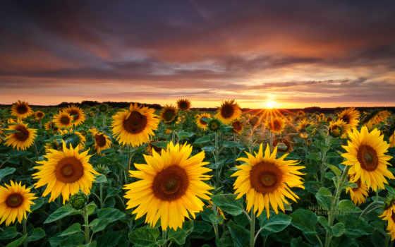 подсолнухи, поле, закат, landscape, пейзажи -, подсолнухами, подсолнухов,
