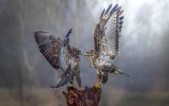 перепелятник, птица, animal, хищный, крыло, два, хищник, взгляд, открыть, сапсан, dance