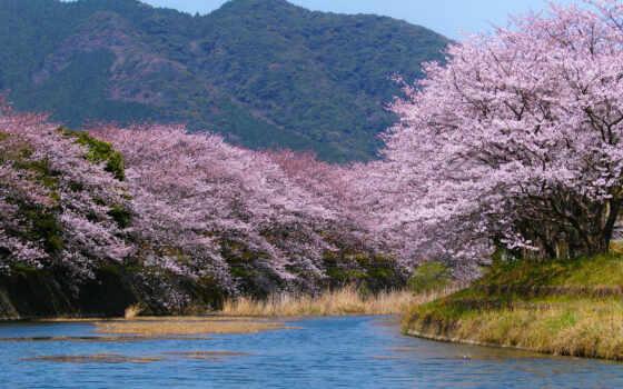 весна, япония, Сакура