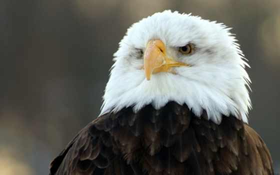 орлан, картинка, белоголовый