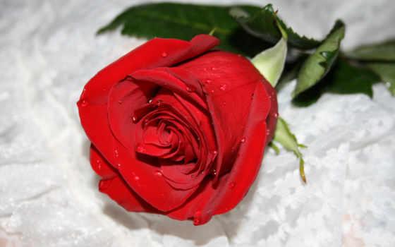 роза, розы, цветы, капли, красная, снегу, бутон, телефон,
