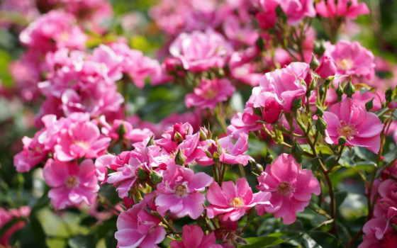 роза, flowers, roses, цветы, розовый, garden, cvety, природа, bush,