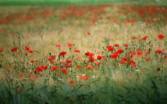 cvety, природа, маки, поле, растения,