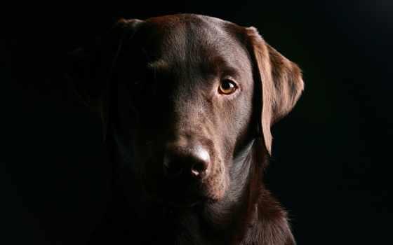 labrador, браун, собака