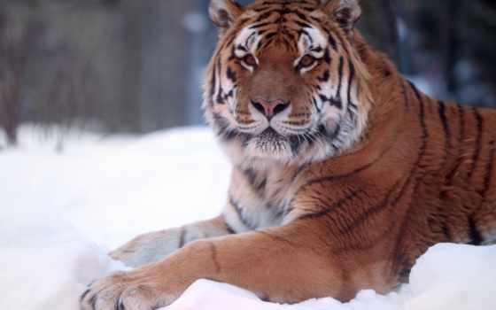 zhivotnye, тигр, тигры