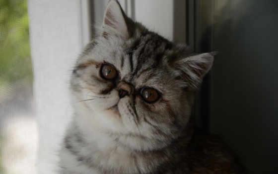 exotic, экзотическая, котята, короткошёрстная, animals, кот, cats,