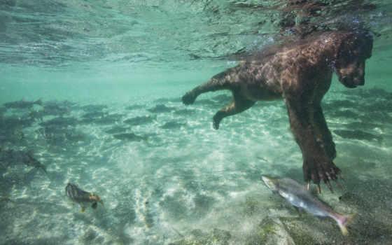 пытается, аляска, grizzly, города, лосося, national, park, аляски, поведения, ursa,