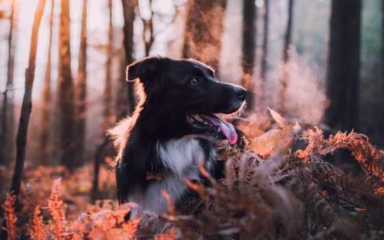 собака, иней, прогулка, рассвет, steam, осень, порода, лес