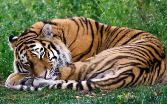 тигр, лежит