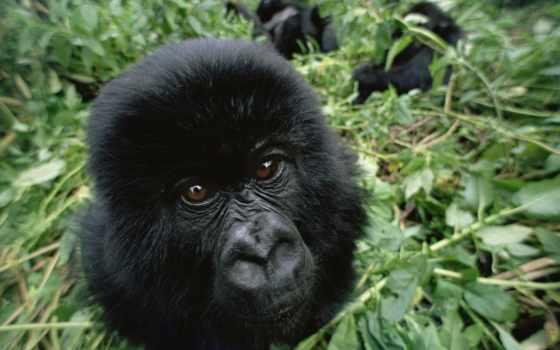 черная, обезьяна, прилепина