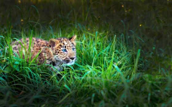 леопард, small, коллекция