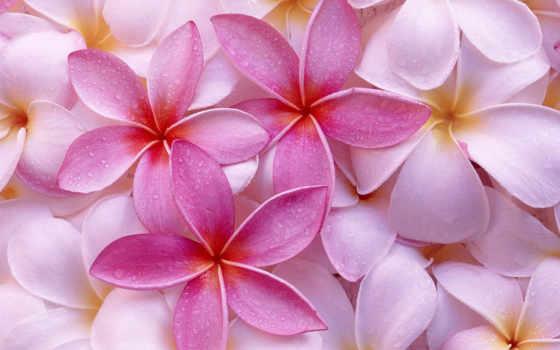цветов, цветы, лепестки