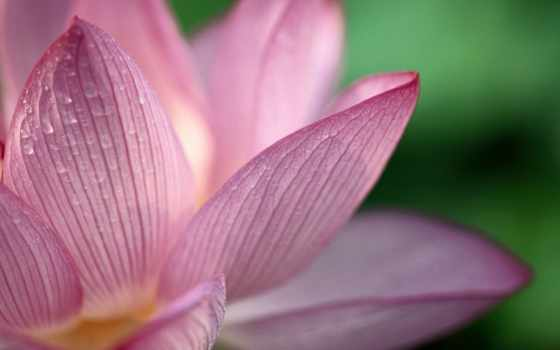 flores, flor, fondos, flowers, lotus, para, papel, fundo, que,